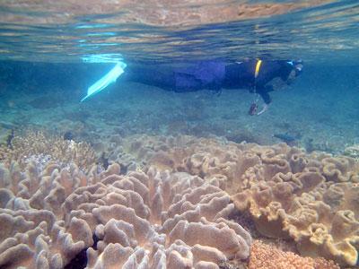 Snorkeling over massive soft corals.